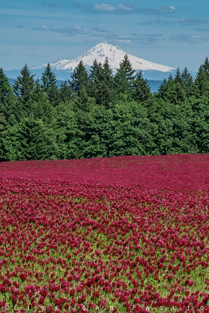 Mt. Hood and Crimson Clover